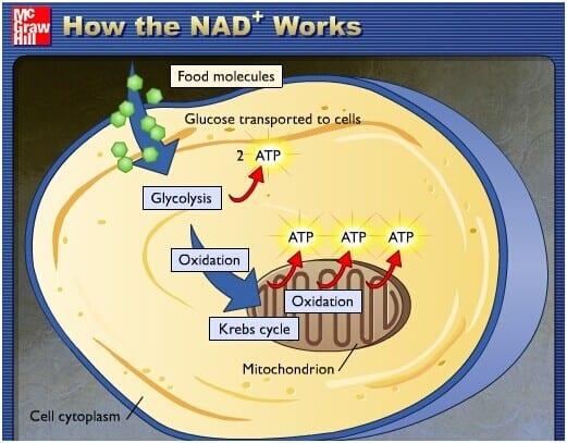 how-NAD-work