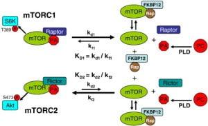 phosphatidic acid mTOR mechanism of action
