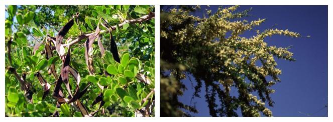 Acacia Rigidula Plant Herb Nutritionals